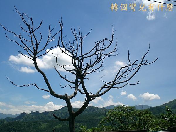 枯樹1.jpg