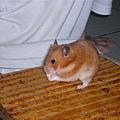 我家鼠球IN小板凳