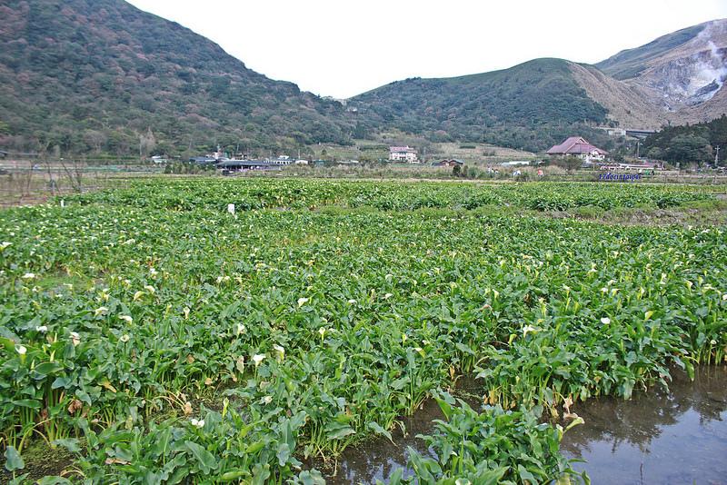 竹子湖採海芋-17度C隨拍 (9)