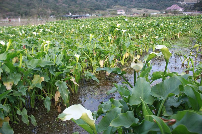 竹子湖採海芋-17度C隨拍 (10)