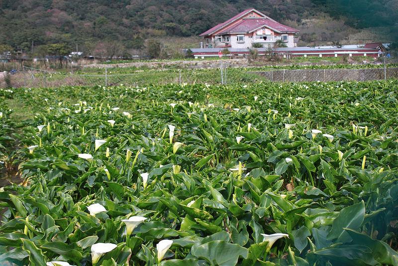 竹子湖採海芋-17度C隨拍 (4)
