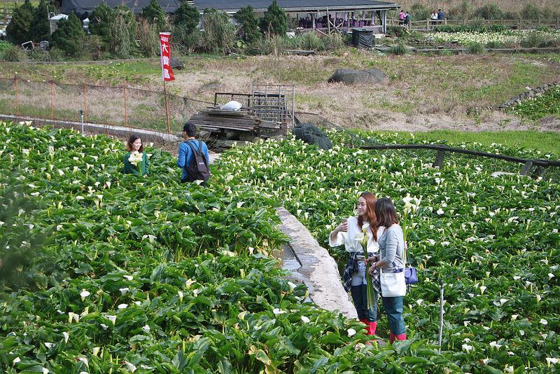 竹子湖採海芋-17度C隨拍 (12)