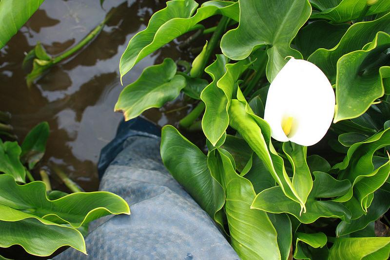 竹子湖採海芋-17度C隨拍 (36)