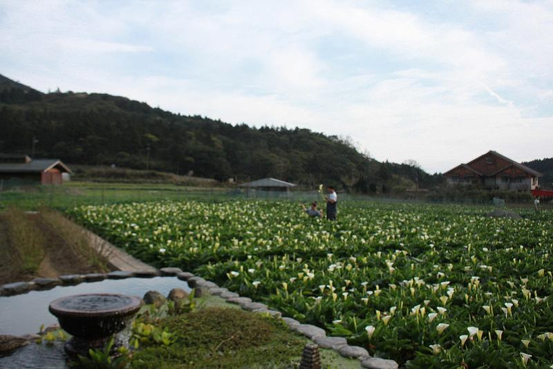 竹子湖採海芋-17度C隨拍 (75)
