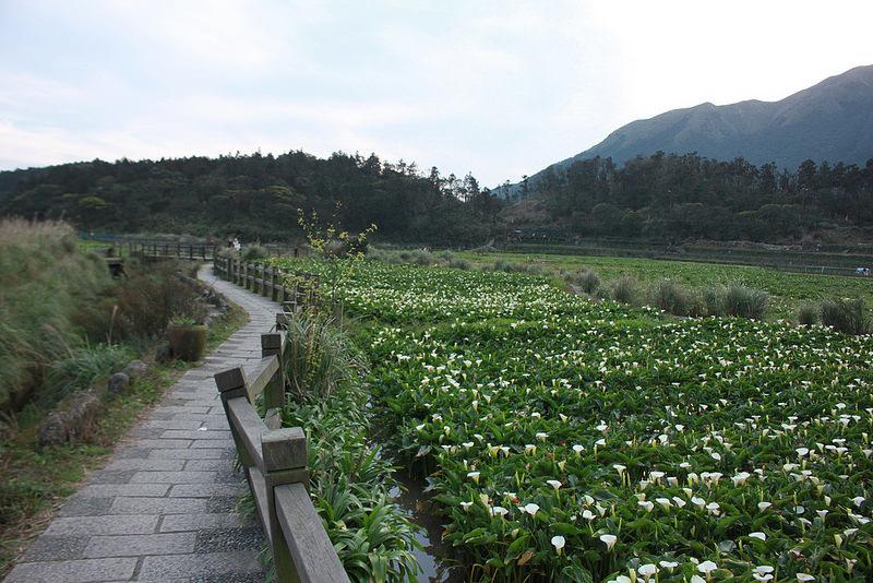 竹子湖採海芋-17度C隨拍 (92)