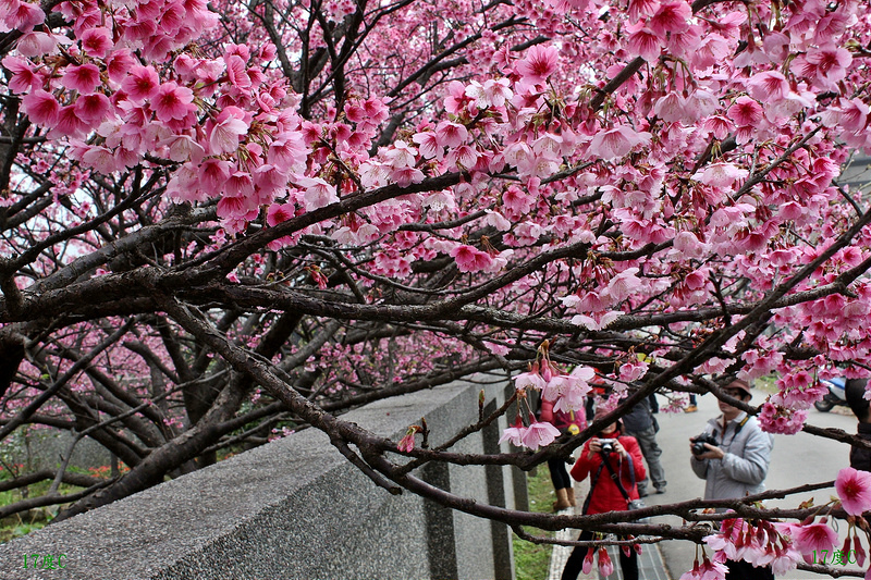 台北旅行。櫻花。平菁街