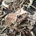 母的褐樹蛙.JPG