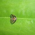 眼紋廣翅蠟蟬 Euricania ocellus.JPG