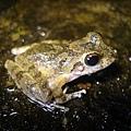 日本樹蛙.JPG