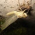 剛變態的蜻蜓.JPG