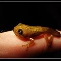 小樹蛙.jpg