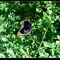 孔雀青峽蝶 (Junonia orithya).jpg