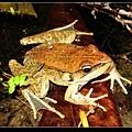 另一隻腹斑蛙 (Rana adenopleura).jpg