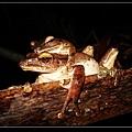 白頷樹蛙抱接 (Polypedates megacephalus).jpg