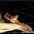 白頷樹蛙的屁股 (Polypedates megacephalus).jpg