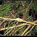 在樹上大鳴的白頷樹蛙(Polypedates megacephalus).jpg