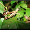 突眼蝗  (Erianthus formosanus).jpg
