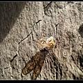眼紋廣翅蠟蟬 (Euricania ocellus).jpg