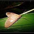 圓端擬燈蛾(Asota heliconia).jpg