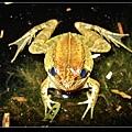 腹斑蛙 (Rana adenopleura).jpg