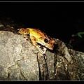 褐樹蛙(Family Rhacophoridae).jpg