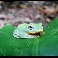 台北樹蛙 (Rhacophorus taipeianus).jpg