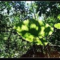 姑婆芋的葉子.jpg