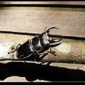 扁鍬形蟲 (Dorcus titanus sika).jpg