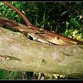 斯文豪氏攀木蜥蜴 公 (Japalura swinhonis).jpg