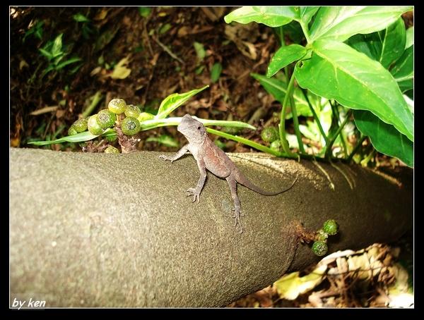 斯文豪氏攀木蜥蜴 母  (Japalura swinhonis).jpg