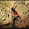躲在洞裡的小拉 (Rana latouchii).jpg