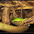 盤在樹上的赤尾青竹絲 (Trimeresurus stejnegeri).jpg