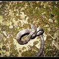 白梅花蛇 (Lycodon ruhstrati).jpg