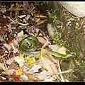 死掉的青蛇 (Eurypholis major).jpg