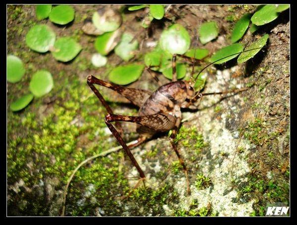灶馬 (Rhaphidophoridae).jpg