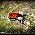 紅圓翅鍬形蟲 (Neolucanus swinhoei).jpg