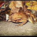 盤古蟾蜍 (Bufo bankorensis ).jpg