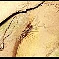 蚰蜒 (colopendromorpha)2.jpg