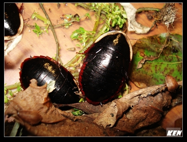 東方水蠊(Opisthoplatia orientalis).jpg