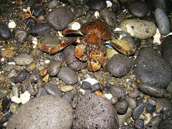 椰子蟹-2.jpg