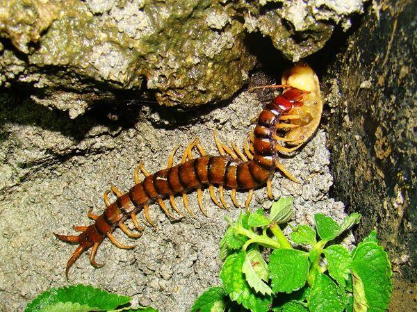 蜈蚣吃蛞蝓.jpg