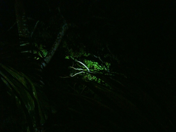 蘭嶼角鴞.jpg