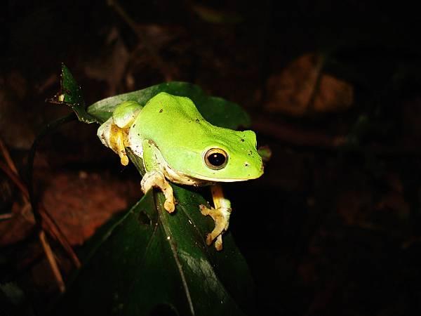 台北樹蛙.jpg