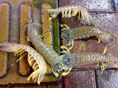 瀨尿蝦5隻 1兩60元15兩900元.jpg