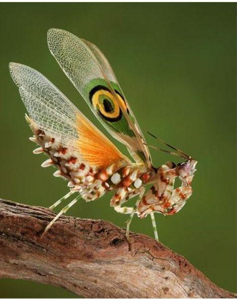 好漂亮的螳螂2.JPG