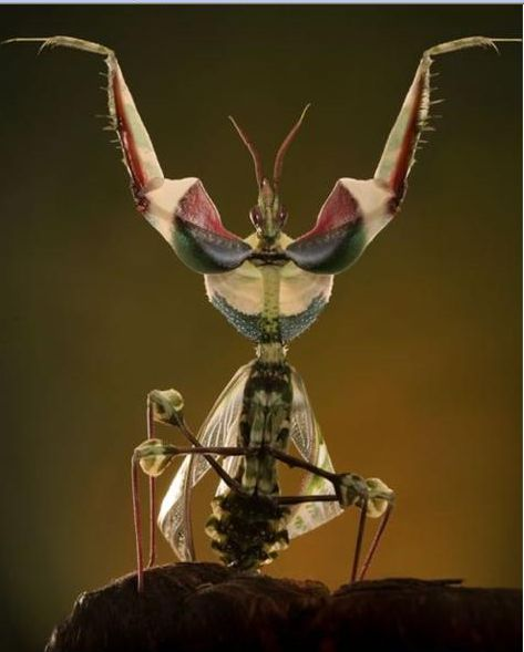 好漂亮的螳螂4.JPG