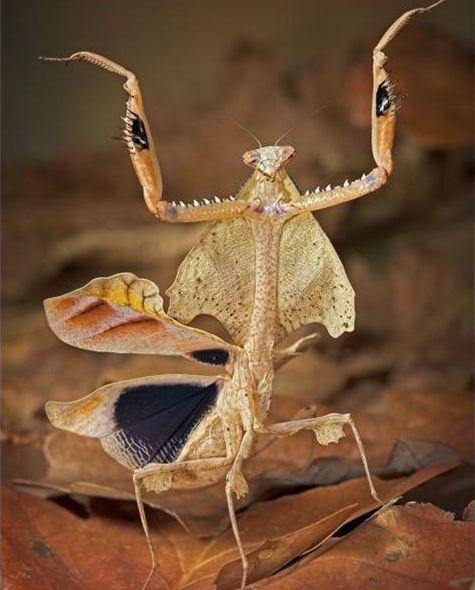 好漂亮的螳螂5.JPG
