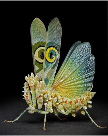 好漂亮的螳螂8.JPG