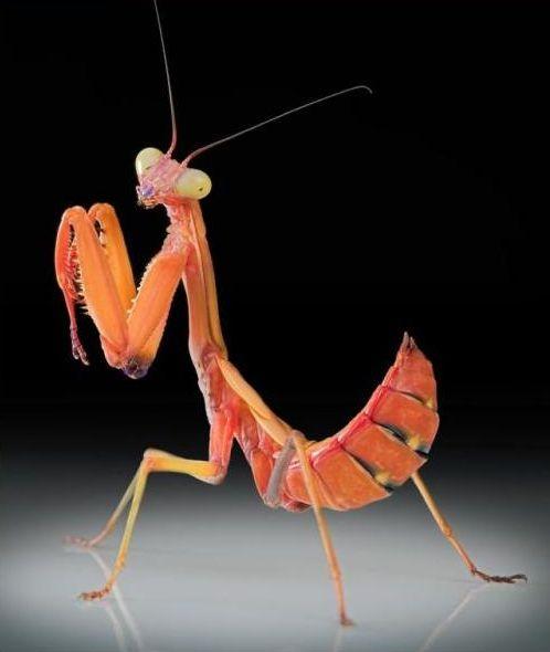 好漂亮的螳螂9.JPG
