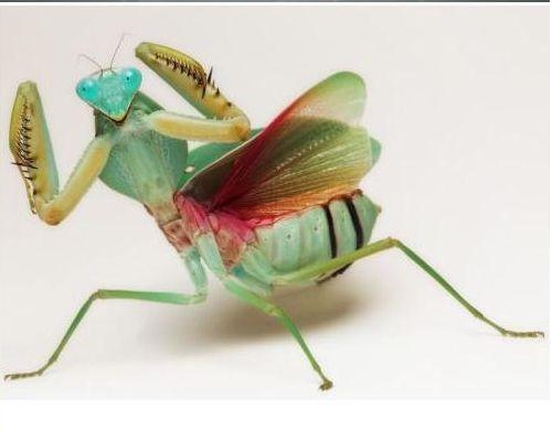 好漂亮的螳螂10.JPG